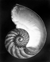 Edward Weston Chambered Nautilus – halved. 1927